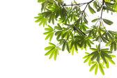 Leaves isolated on white background. — Stock Photo