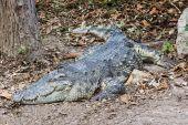 Timsah yerde hayvanat bahçesinde uyuyor. — Stok fotoğraf