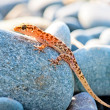 Gekkonovaya young lizard basking in the sun while sitting on a big gray stone — Stock Photo #51819207
