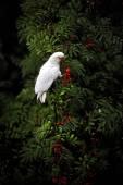 Beyaz ev papağan üvez meyveleri ısırıkları — Stok fotoğraf
