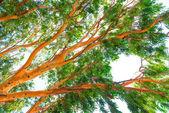 High eucalyptus tree with lush foliage — Stock Photo