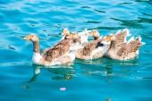 Beautiful waterfowl geese in pure water — Stock Photo