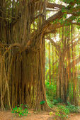 Large old trees overgrown with lianas — Stock Photo