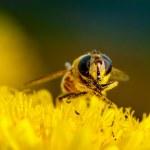 Macro shot of a bee on a flower dandelion — Stock Photo #68364067