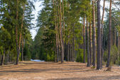 Beautiful spring landscape of pine forest — Stock Photo