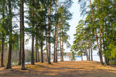 High evergreen pine trees near a lake in the spring — Stock Photo