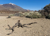 Branch on lava field with El Teide — Stock Photo