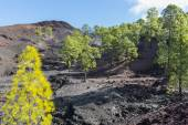 Forest on lava field — Stock Photo