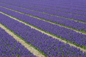 Rows of Violet Hyacith — Stock Photo
