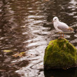 Lake seagull — Stock Photo #59266959