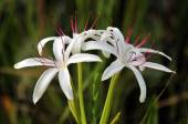 Spider Lily — Stock Photo