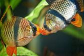 Ψάρια ενυδρείου. Barbus puntius tetrazona — Foto Stock