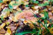 Amanita nella foresta di autunno — Foto Stock