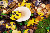 Mushroom in autumn forest — Stock Photo