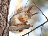 Squirrel on tree with nut — Stockfoto