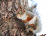 Squirrel on tree — Stock Photo