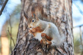 Squirrel on tree with nut — Stock Photo