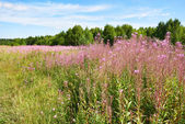 Flowering of willow-herb plant on meadow — Stock Photo