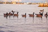 Flock of birds on lake — Stock Photo