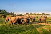 Groupe d'éléphant au bord du lac — Photo