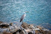 Czapla nad jeziorem, Yala — Zdjęcie stockowe