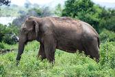 Elefanten in Sri lanka. — Stockfoto