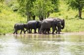 Wild Elephants  in water — Stock Photo