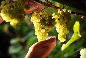 Image of ripe grapevine on a green background — Stock Photo