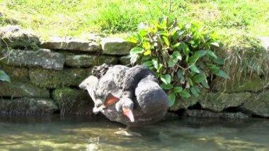 Black Swan — Stock Video