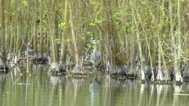 Grey Heron Hiding — Stock Video