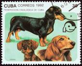 """CUBA - CIRCA 1992: A stamp printed in Cuba from the """"Dogs """" issue shows short-haired, long-haired and wire-haired dachshunds, circa 1992. — Stock Photo"""