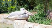 Pink-Backed Pelican (Pelecanus rufescens) in a park — Stock Photo