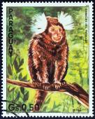 "PARAGUAY - CIRCA 1985: A stamp printed in Paraguay from the ""Nature Protection - Animals of Paraguay "" issue shows a Common marmoset (Callithrix jacchus), circa 1985. — Stock Photo"