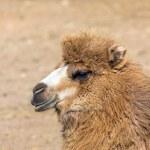 Постер, плакат: Bactrian camel portrait