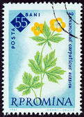 """ROMANIA - CIRCA 1961: A stamp printed in Romania from the """"Centenary of Bucharest Botanical Gardens"""" issue shows Buttercup (Ranunculus carpathicus), circa 1961. — Stock Photo"""
