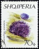 "ALBANIA - CIRCA 1966: A stamp printed in Albania from the ""Echinoderms "" issue shows Purple Sea Urchin (Sphaerechinus granulatus), circa 1966. — Stock Photo"