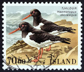 "ICELAND - CIRCA 1987: A stamp printed in Iceland from the ""Birds "" issue shows Eurasian oystercatcher (Haematopus ostralegus), circa 1987. — Stock Photo"
