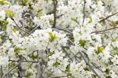 Blossom tree background — Stock Photo