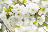 White cherry blossom close-up — Stock Photo