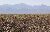 Cotton field near Weita. Omo Valley. Ethiopia. — Stockfoto