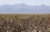 Cotton field near Weita. Omo Valley. Ethiopia. — Foto de Stock