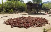 Harvested sorghum crop is dying on the ground. Omo Valley. Ethiopia — Stock Photo