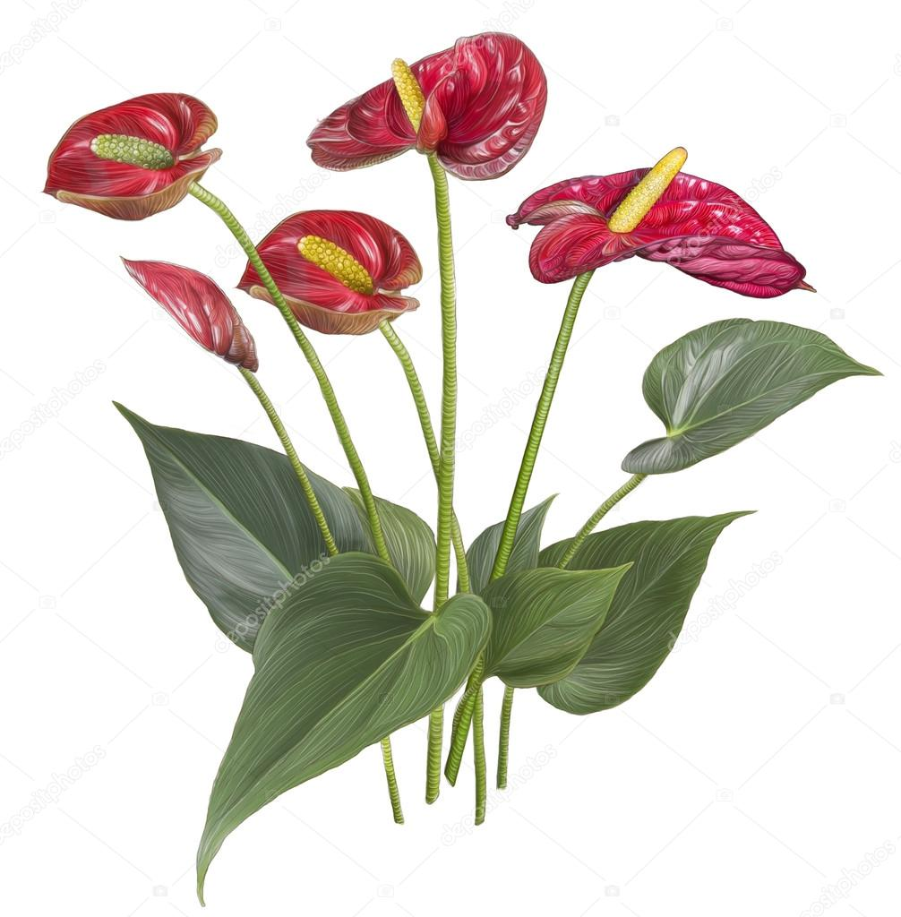 Цветок красный антуриум  цена