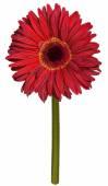Red gerbera flower drawing — Stock Photo