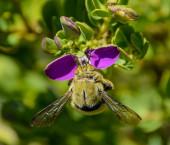 Female Carpenter Bee — Stock Photo
