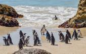 African Penguins — Stock Photo