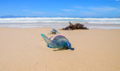 Portuguese man O' War — Stock Photo