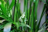 Veiled Chameleon — Stock Photo