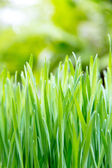 Fresh spring green grass — Stock Photo