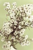 White gypsophila — Stock Photo